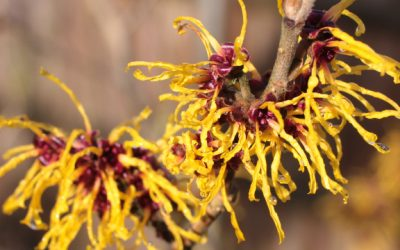 Хамамелис – Witch Hazel, Hamamelis virginiana